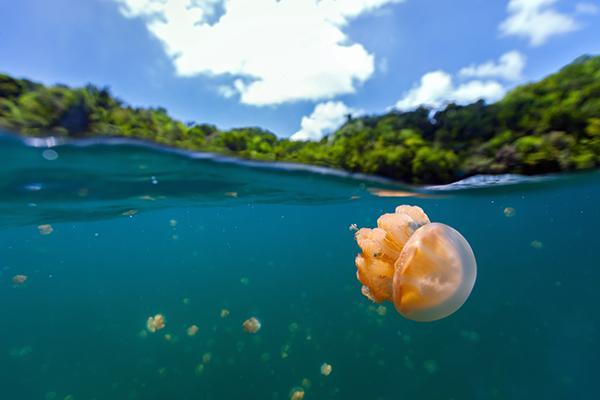 las picaduras de medusa podran ocasionar reacciones txicas y alrgicas