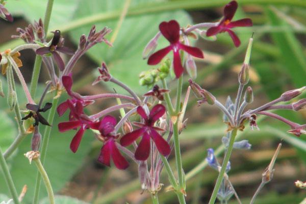 pelargonium sidoides un aliado natural para combatir el resfriado