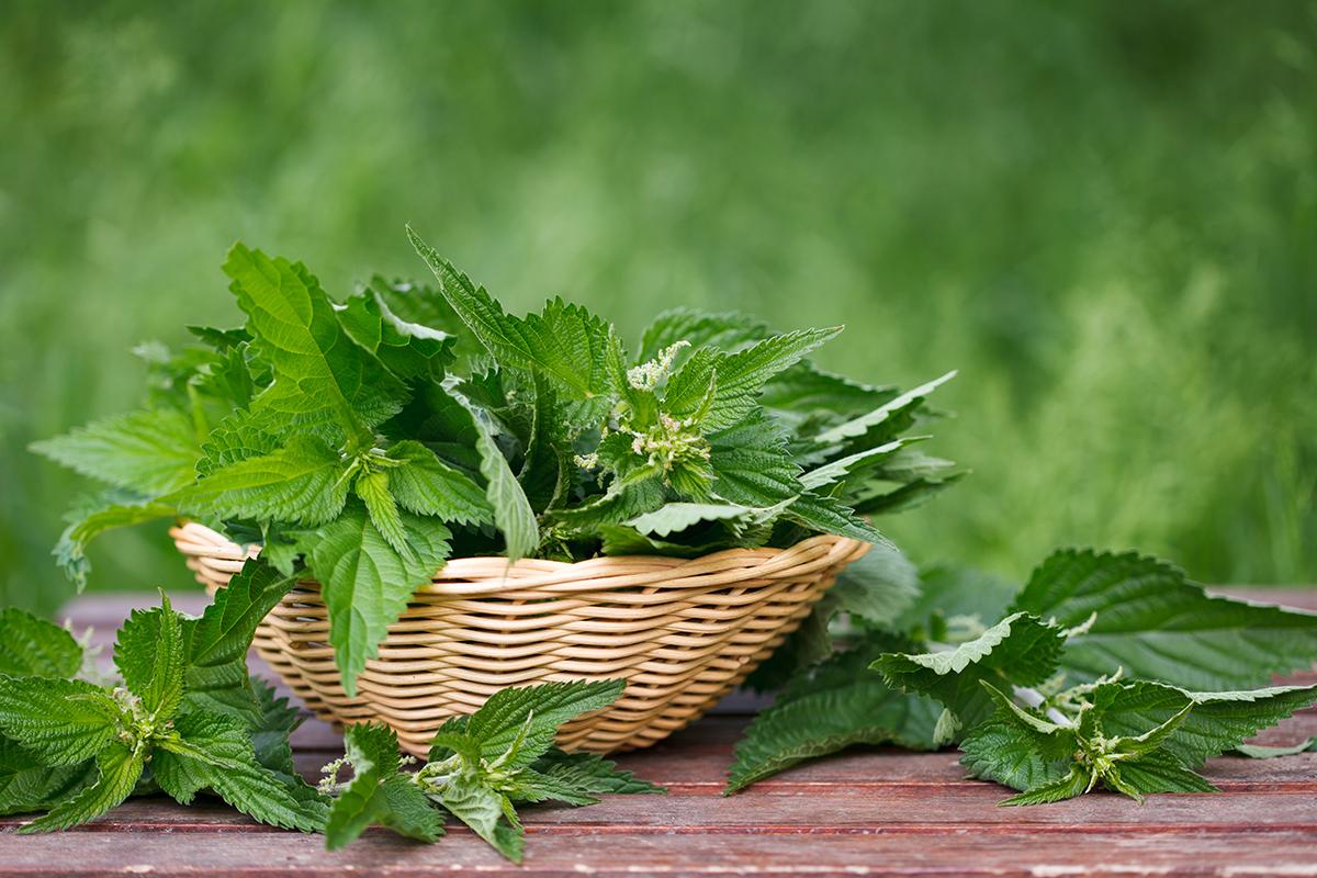 la-ortiga-una-planta-medicinal-con-1001-aplicaciones-terapeuticas